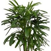 Grote kamerplanten 150 - 180 cm