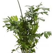 Grote kamerplanten 180 - 225 cm