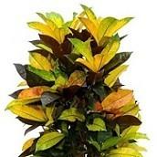 Hydrocultuur Croton online bestellen