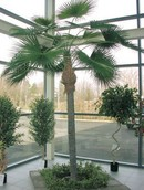Kunstpalm Washingtonia