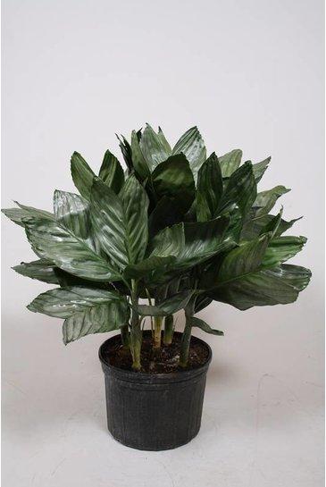 Palm Chamaedorea Metalica - Mexicaanse dwergpalm