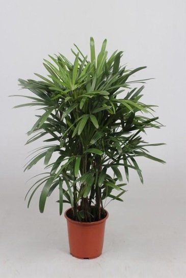 rhapis excelsa 130 cm kamerplant kopen 123kamerplanten. Black Bedroom Furniture Sets. Home Design Ideas