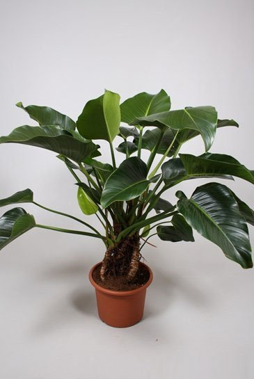 Philodendron Congo Green - Phileo