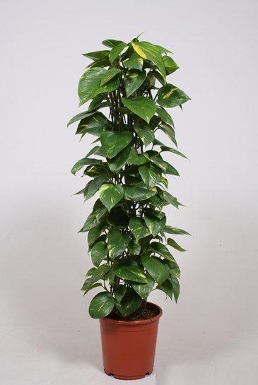Scindapsus Aureum - Epipremnum