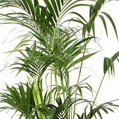 Hydrocultuur Kentia Palm online bestellen