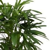 Hydrocultuur Rhapis Palm online bestellen