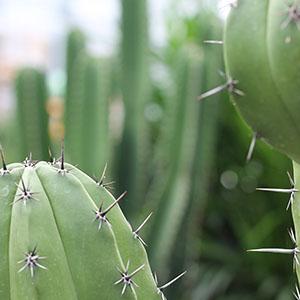 grote cactussen