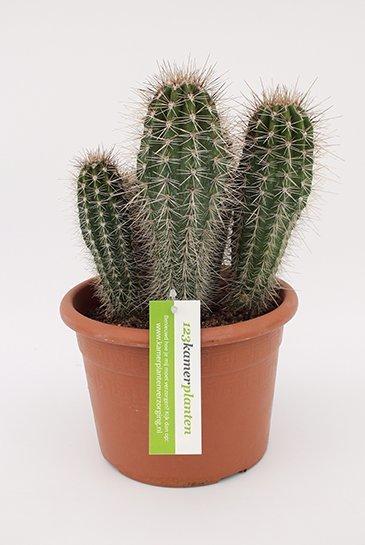 Cactus pachycerues pringlei multi