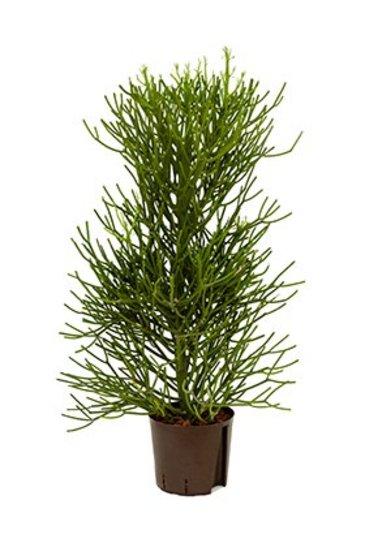 Euphorbia Tirucalli (Potloodplant) - Hydrocultuur