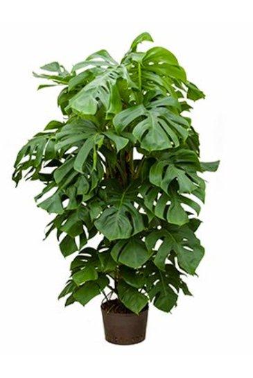 Philodendron Pertusem - Hydrocultuur