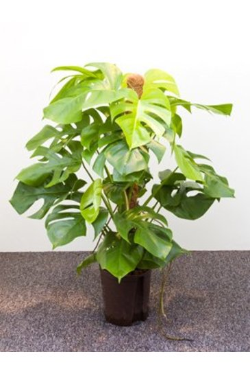 Philodendron Monstera (Gatenplant) - Hydrocultuur
