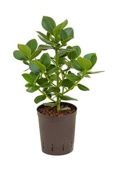 Clusia Rosea Princess (Varkensboom) - Hydroplant