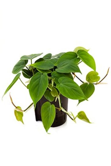 Philodendron Scandens - Hydrocultuur