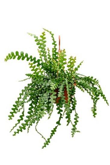 Epiphyllum Anguliger - Zaagcactus
