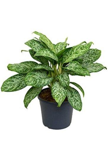 Aglaonema Green Light - Chinese Evergreen