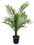 Palm Phoenix Canariensis