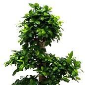 Bonsai kamerplanten