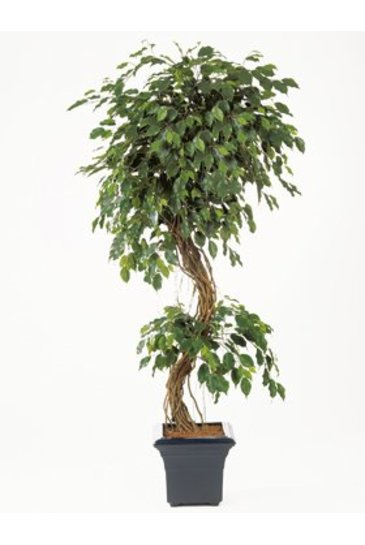 Kunstplant Ficus corkscrew exotica - (Zijdeplant)