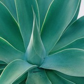 Close up van een Agave