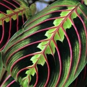 Close up van een Calathea