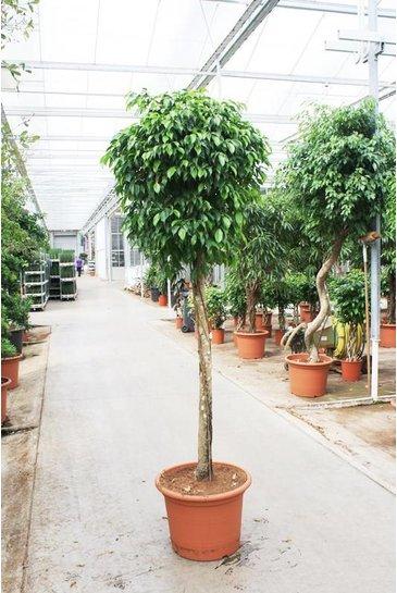 Ficus Columnar - Vijgenboom