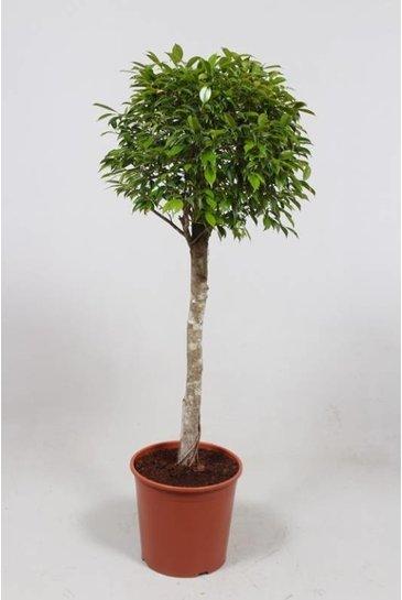 Ficus Foliole - Vijgenboom