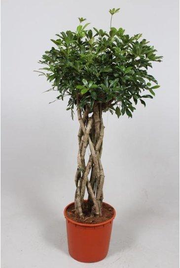 Schefflera Compacta - Vingersboom