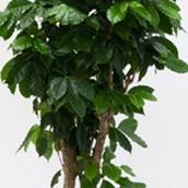 Close up van een Coffea Arabica