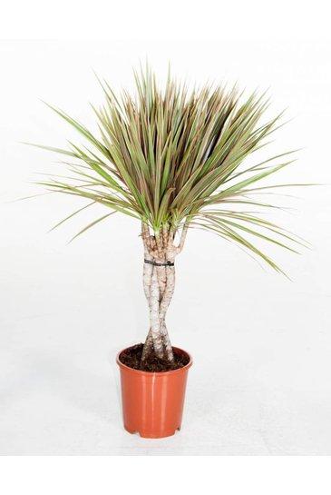 Dracaena Bicolor - Drakenbloedboom