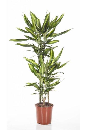 Dracaena Cintho (Drakenbloedboom)