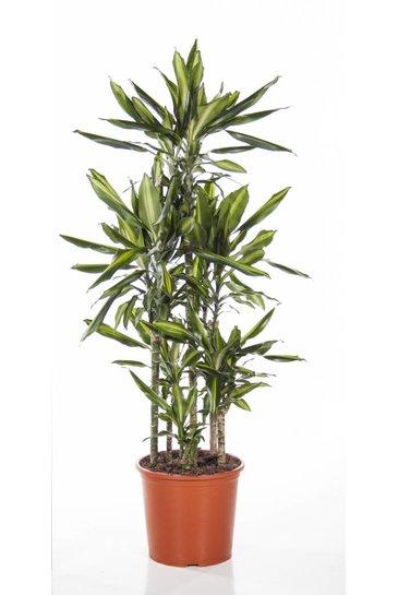 Dracaena Cintho carrousel (Drakenbloedboom)
