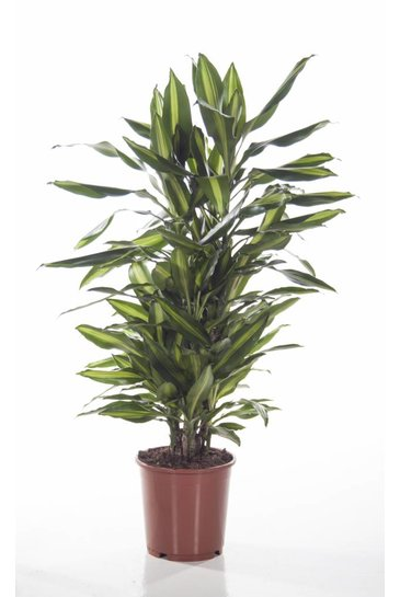 Dracaena Cintho vertakt (Drakenbloedboom)