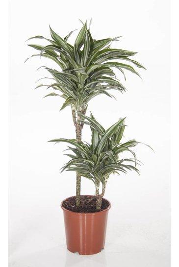 Dracaena Comp Variegata (Drakenbloedboom)
