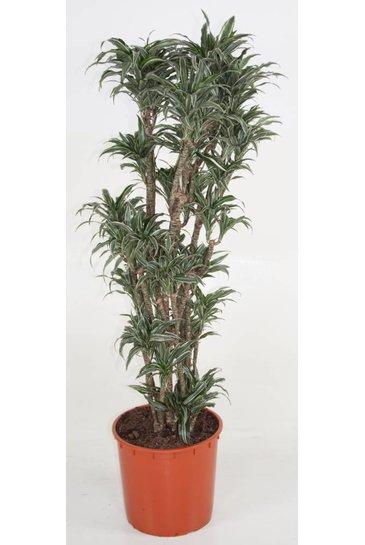 Dracaena Compacta Kanzi - Drakenbloedboom