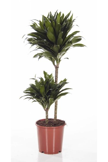 Dracaena Compacta (Drakenbloedboom)