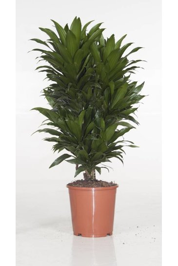 Dracaena Compacta vertakt (Drakenbloedboom)
