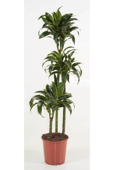 Dracaena Dorado (Drakenbloedboom)