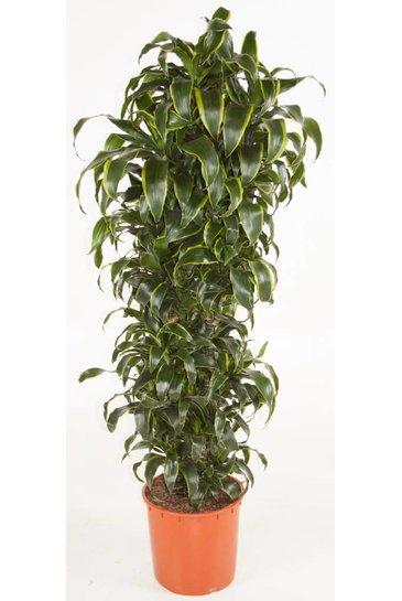 Dracaena Dorado vertakt (Drakenbloedboom)