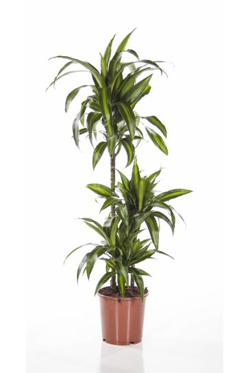 Dracaena Hawaiian Sunshine (Drakenbloedboom)
