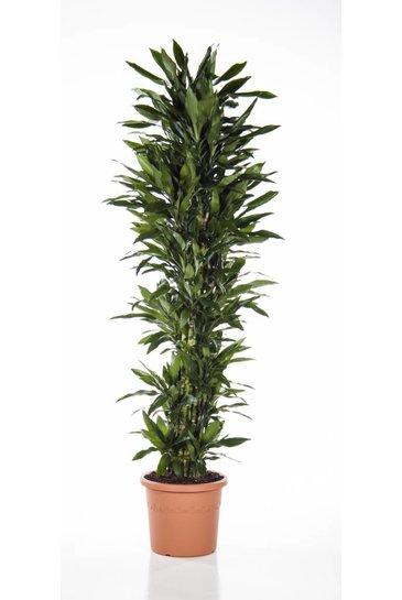Dracaena Janet Lind vertakt (Drakenbloedboom)