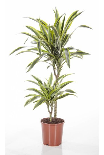 Dracaena Lemon Lime (Drakenbloedboom)