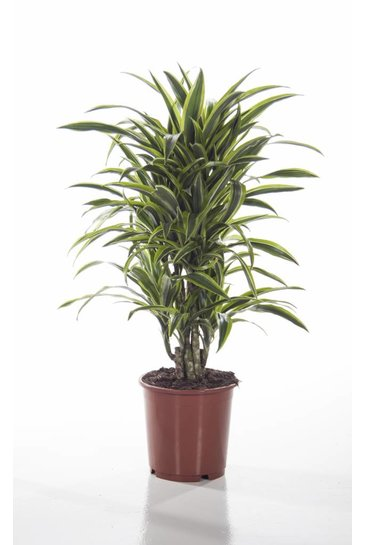 Dracaena Lemon Lime vertakt (Drakenbloedboom)