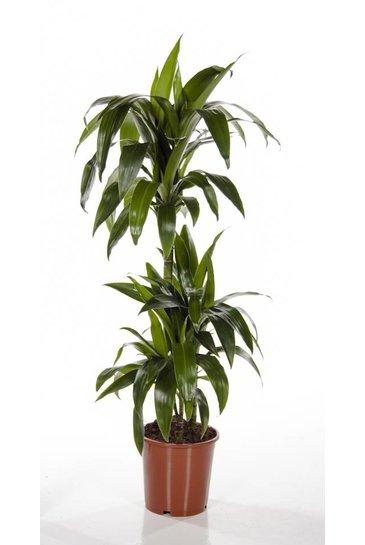 Dracaena Lisa (Drakenbloedboom)