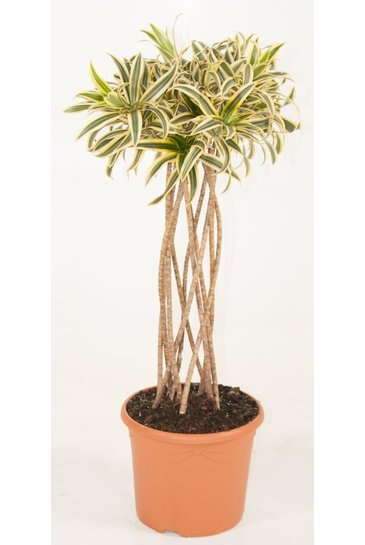 Dracaena Relfexa Song of India koker (Drakenbloedboom)
