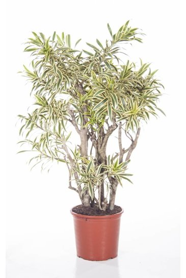 Dracaena Relfexa Song of India