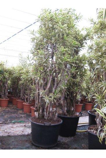 Dracaena Relfexa Song of India vertakt (Drakenbloedboom)