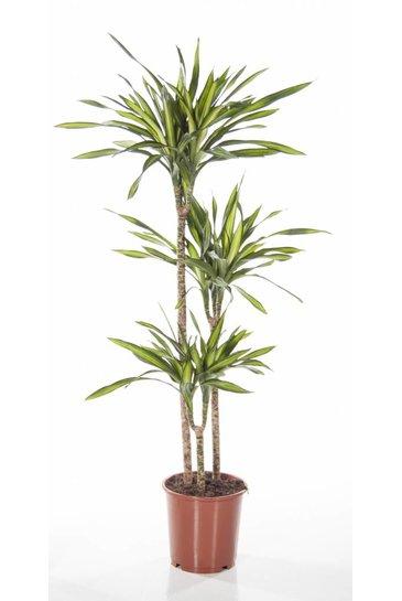 Dracaena Riki (Drakenbloedboom)