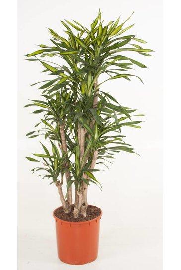 Dracaena Riki vertakt (Drakenbloedboom)