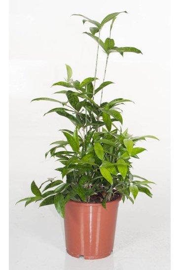 Dracaena Surculosa bush (Drakenbloedboom)