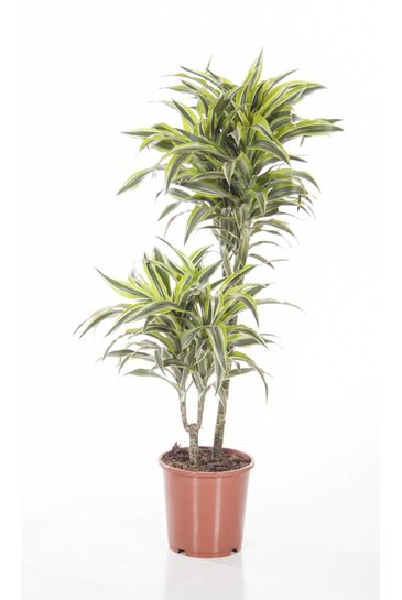 Dracaena Surprise (Drakenbloedboom)